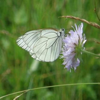 Papillon Gazé 4