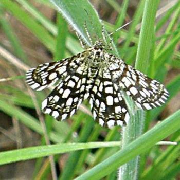Papillon Géomètre à barreaux