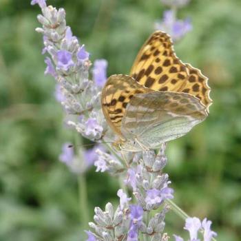 Papillon Tabac d'Espagne (Nacré)