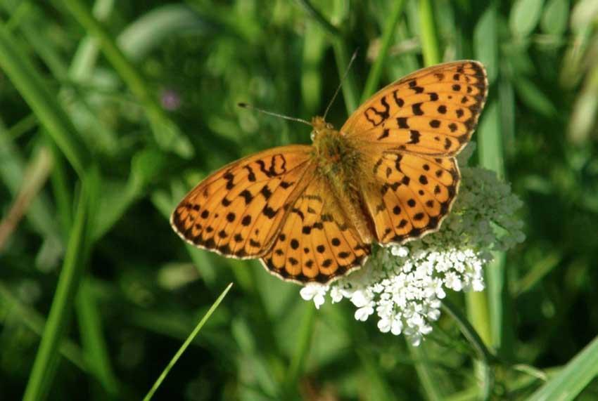 Papillon la petite Violette 1