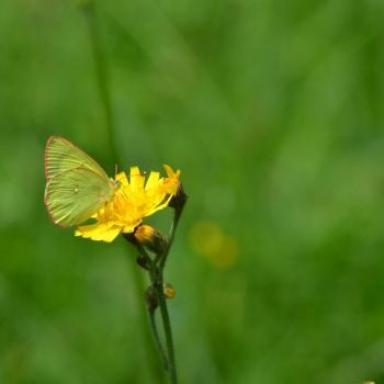 Papillon Le Fluoré - Colias alfacariensis