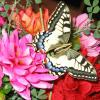 Papillon Machaon 1