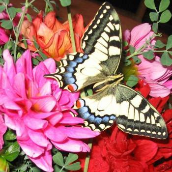Papillon Machaon 1