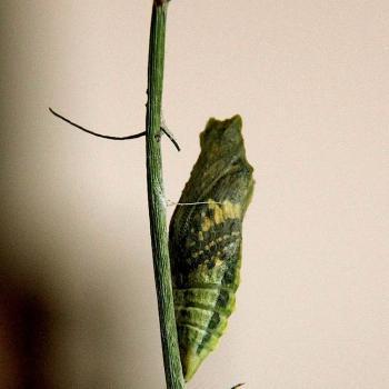 Papillon Machaon - Chrysalide
