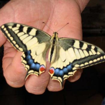 Papillon Machaon venant de naître