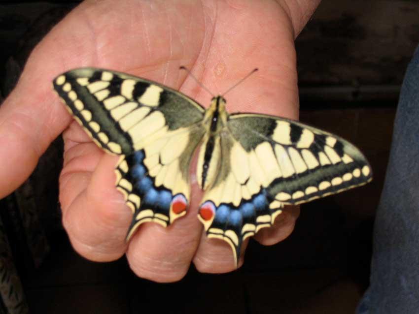 Papillon Machaon venant de naître