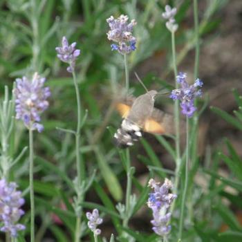 Papillon Moro Sphynx sur Lavande