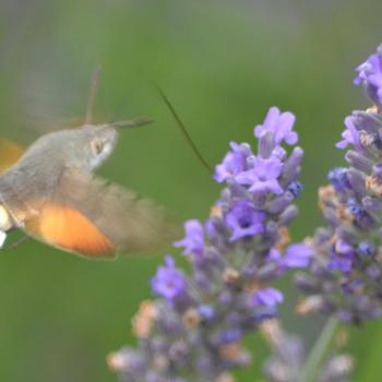Papillon Moro Sphynx