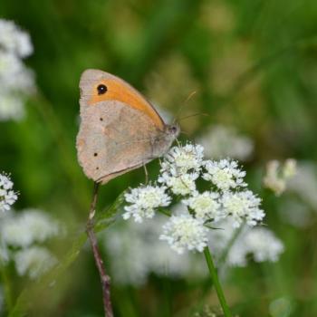 Papillon Myrtil 1