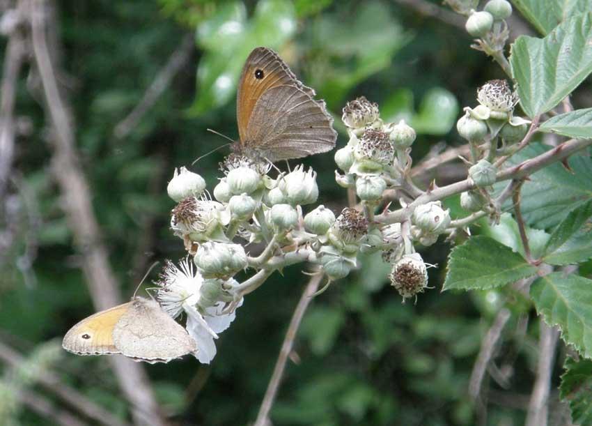 Papillon Myrtil 2