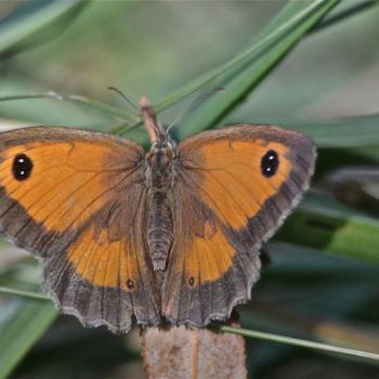 Papillon Myrtil ailes déployées