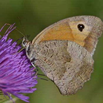 Papillon Myrtil ou Satyre - Maniola jurtina