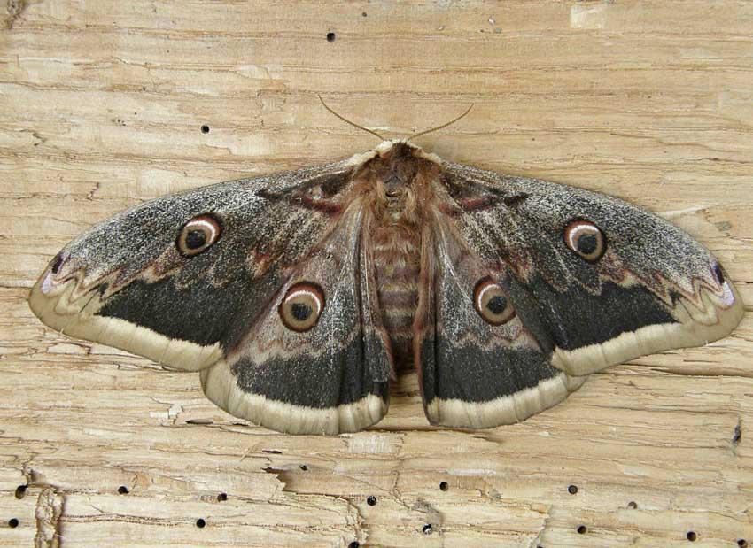 Papillon Paon de nuit 1