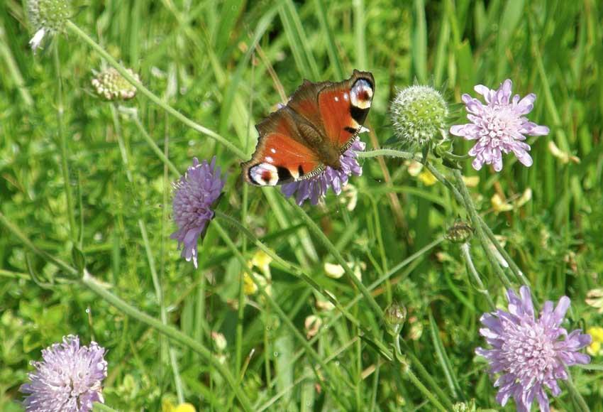 Papillon Paon du jour sur Scabieuse