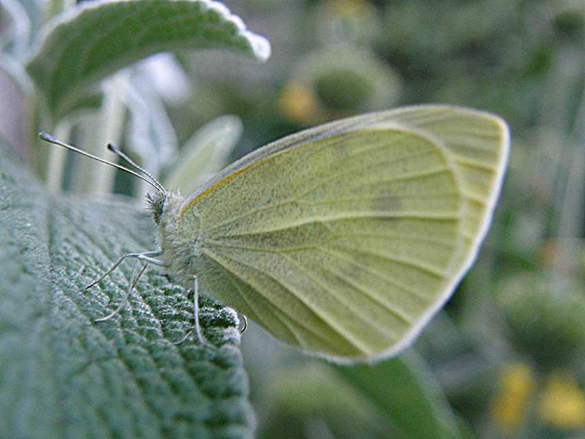 Papillon Piéride 1
