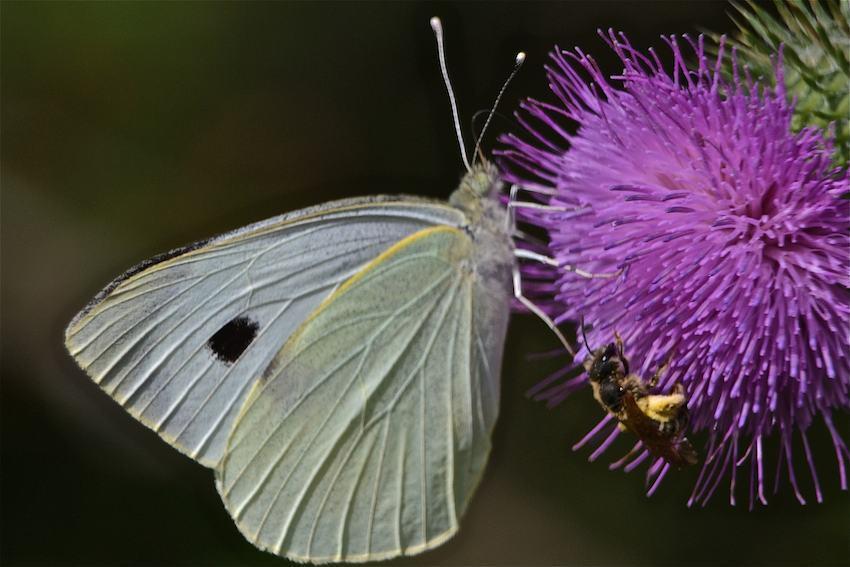 Papillon Piéride et Abeille