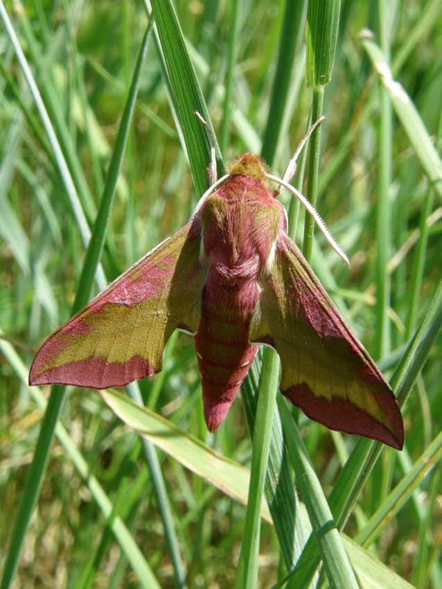 Papillon Sphynx de la vigne