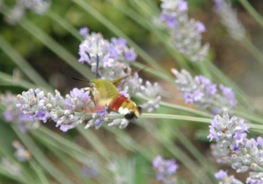 Papillon Sphynx gazé sur Lavandes