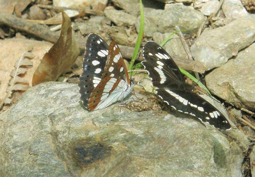 Papillon Sylvain 1