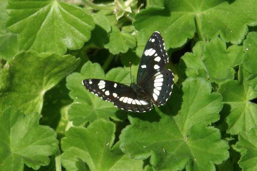 Papillon Sylvain 4