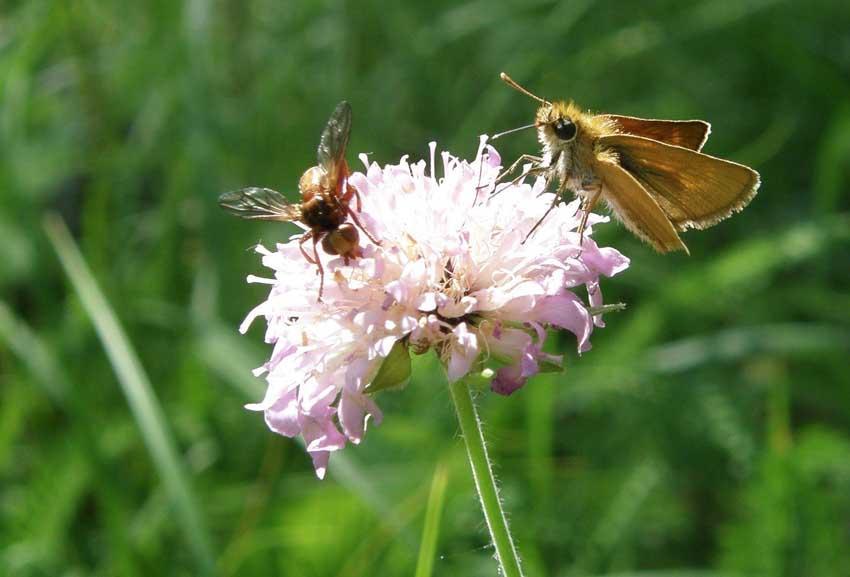 Papillon Sylvaine et diptère sur Scabieuse