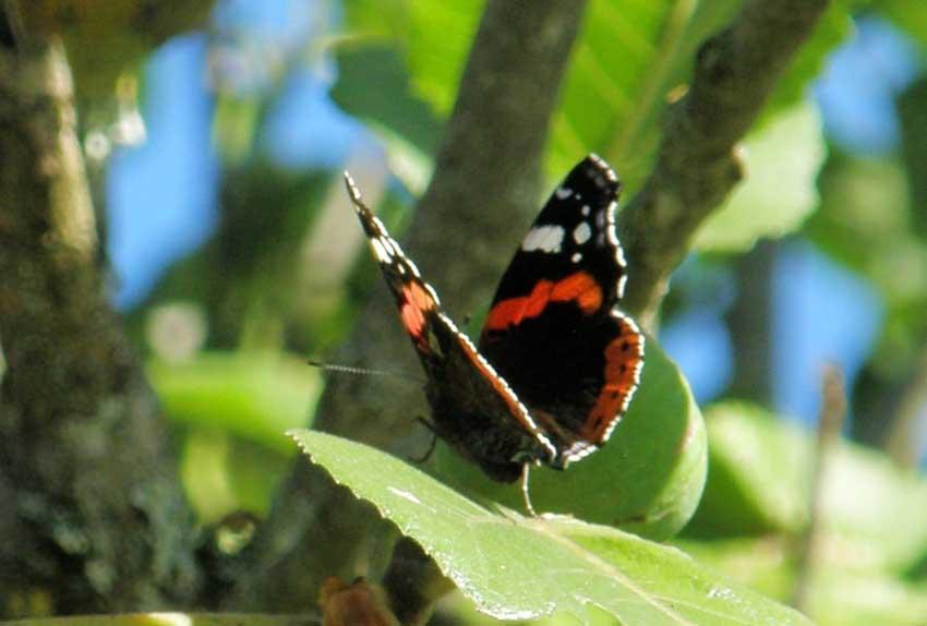 Papillon Vulcain -  Vanesse atalanta 1