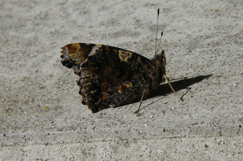 Papillon Vulcain - Vanesse atalanta