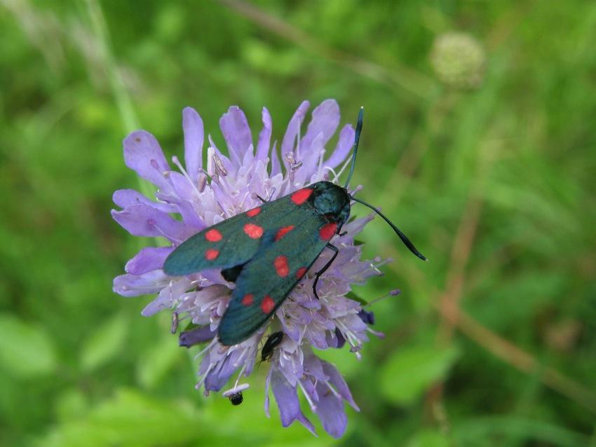 Papillon Zigaene 1