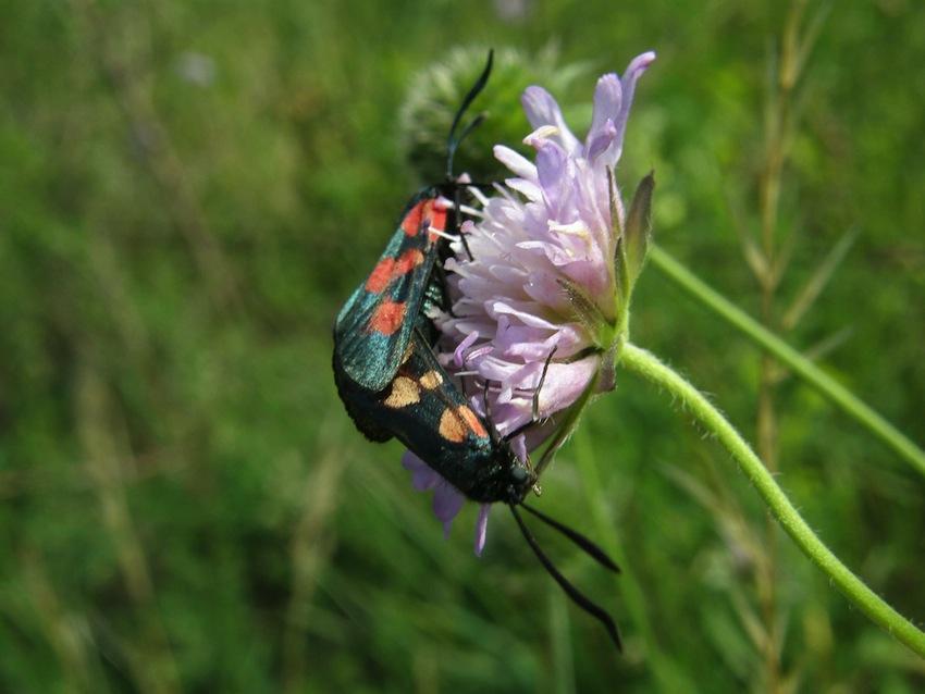 Papillon Zigaene 6 - accouplement