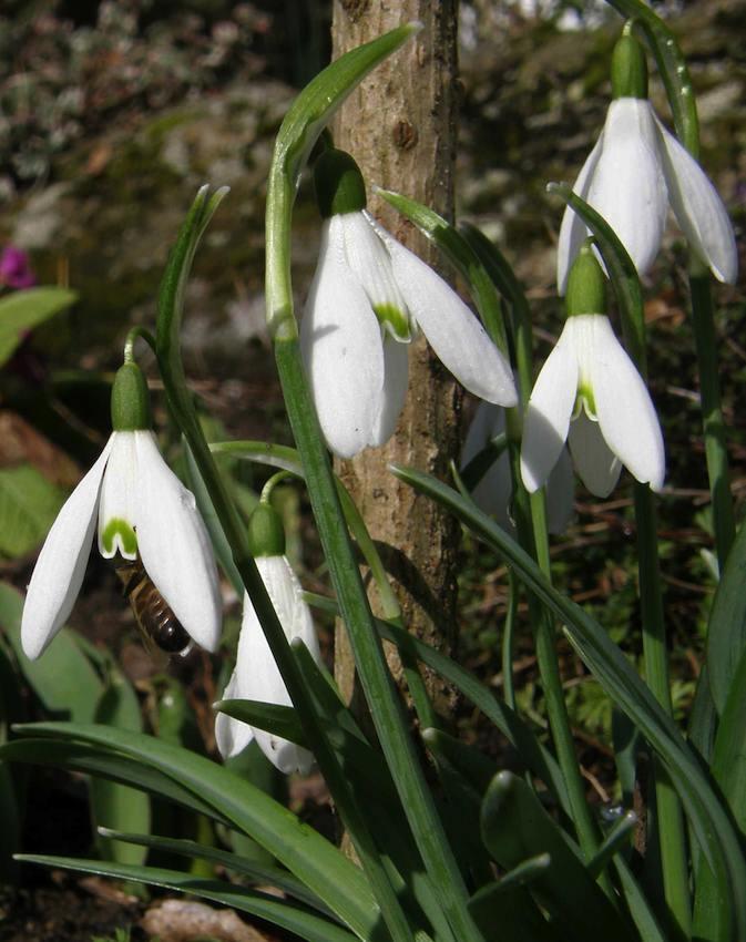 Perce Neige et abeille - Galanthus rivalis