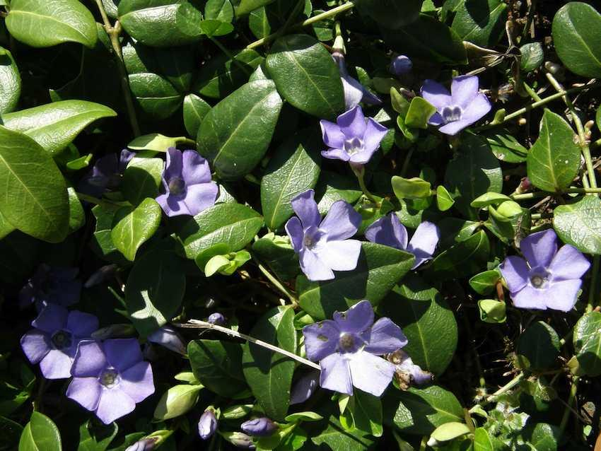Pervenche - Vinca minor