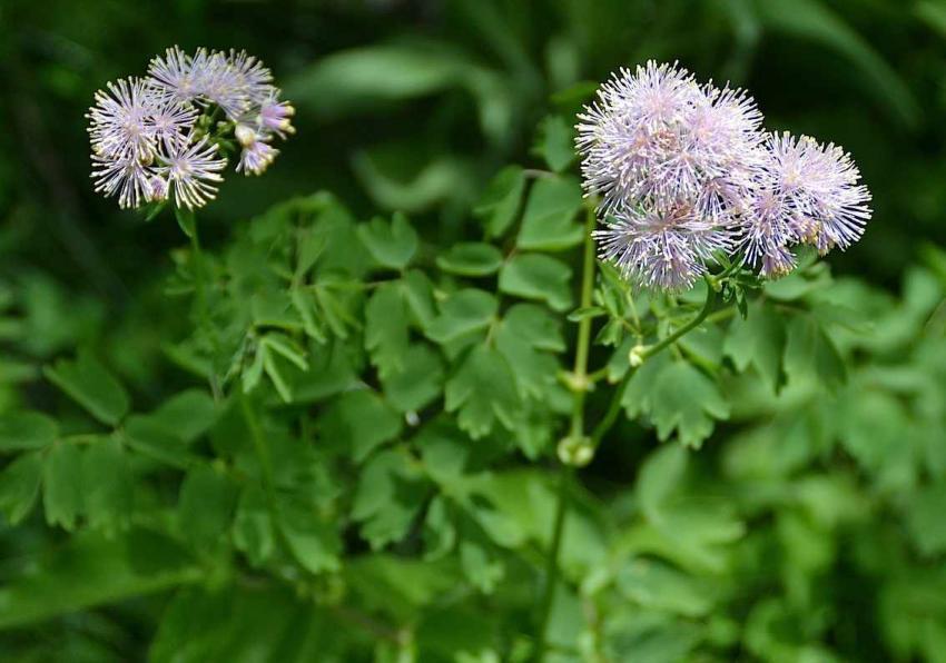 Pigamon à feuilles d'ancolie 1