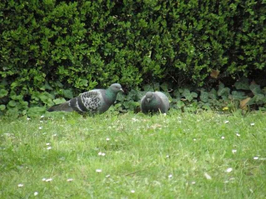 Pigeons bizet - Columba livia