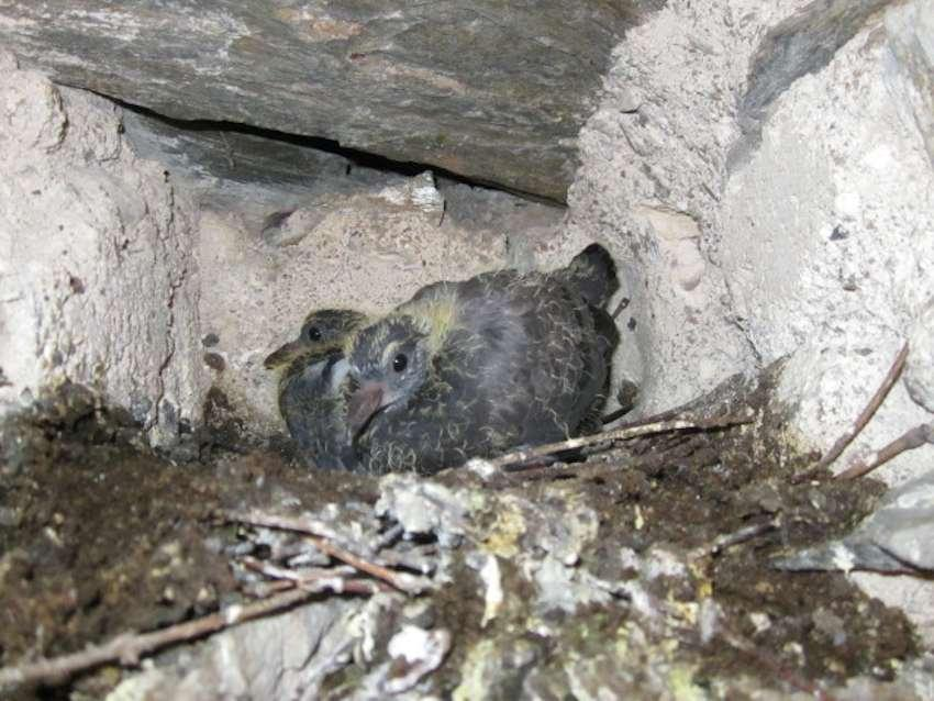 Pigeons juvéniles au nid
