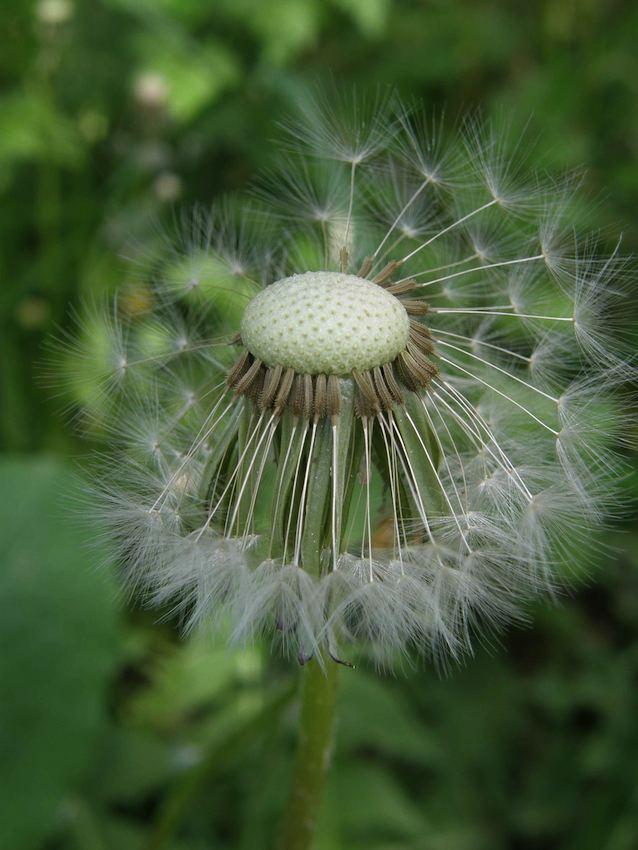 Pissenlit plumet - Taraxacum officinale
