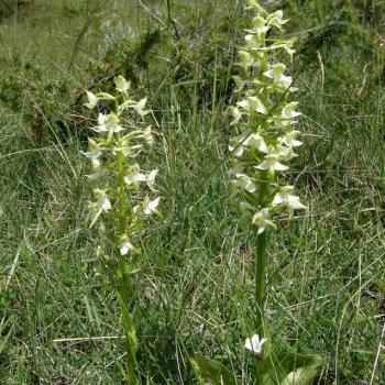 Platanthera bifolia 1 - Platanthère à 2 feuilles