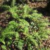 Polypode vulgaire - Polypodium vulgare