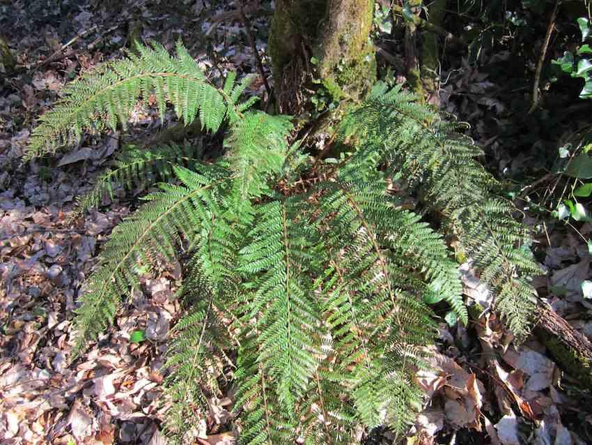 Polystic à aiguillons - Polystichum setiferum