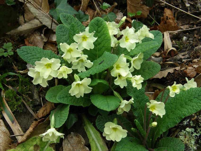 Primevère des bois - Primula vulgaris