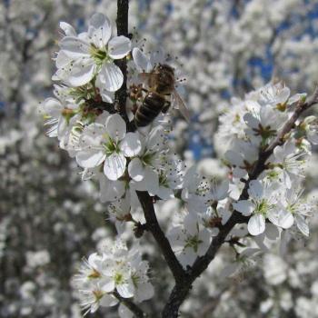 Prunelier et abeille