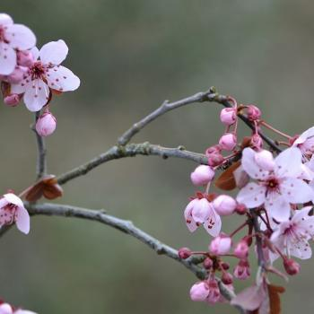 Prunus 1a