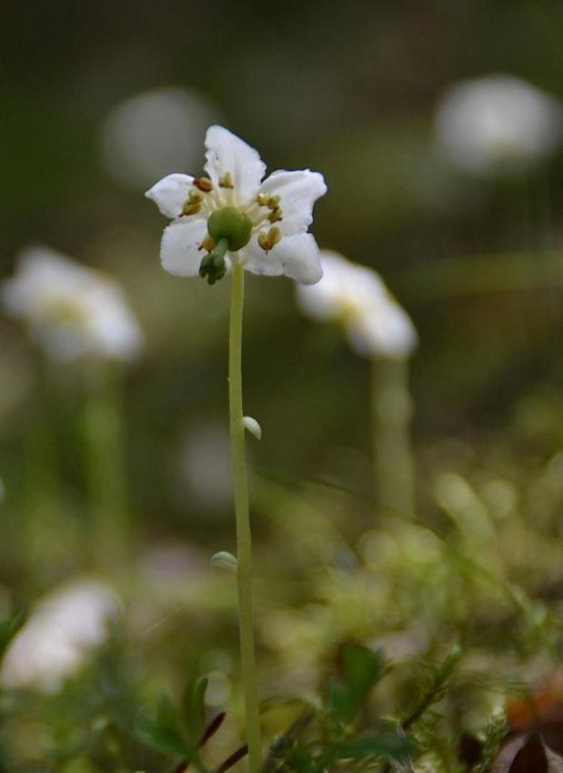 Pyrole uniflore - Moneses uniflora 1