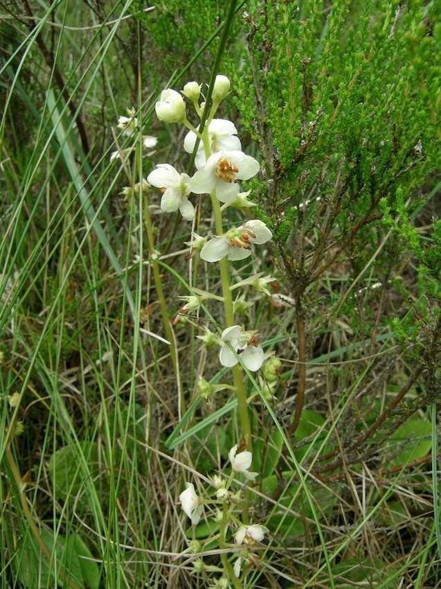 Pyrole sp. - Ericacea