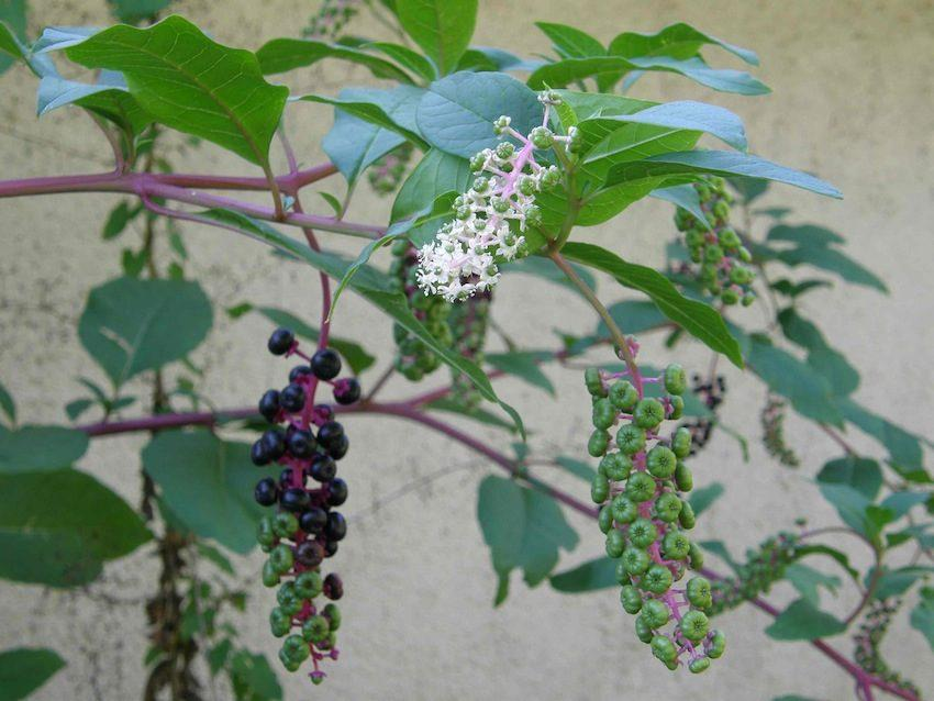 Raisin d'Amérique - Phytolacca americana - Phytolaccaceae