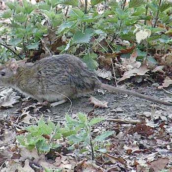 Rat des champs