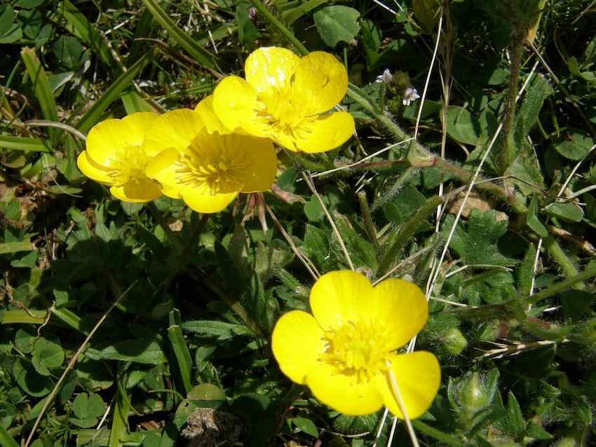 Renoncule des montagnes - Ranunculus montanus - Renonculaceae