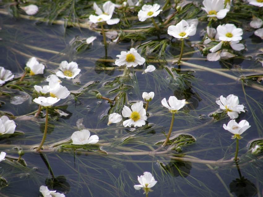 Renoncule flottante 1 - Ranunculus fluitans