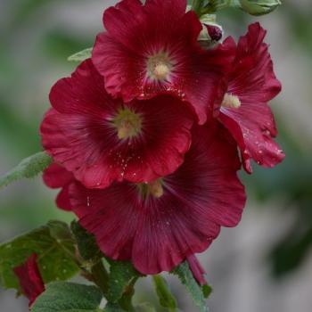 Rose trémière 1 - Alcea rosea