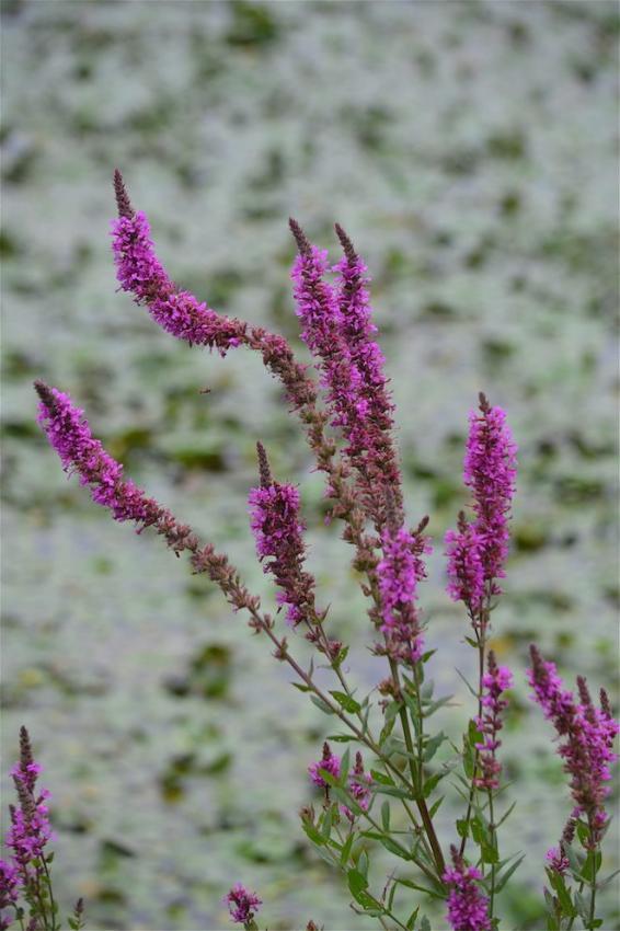 Salicaire - Lythrum salicaria