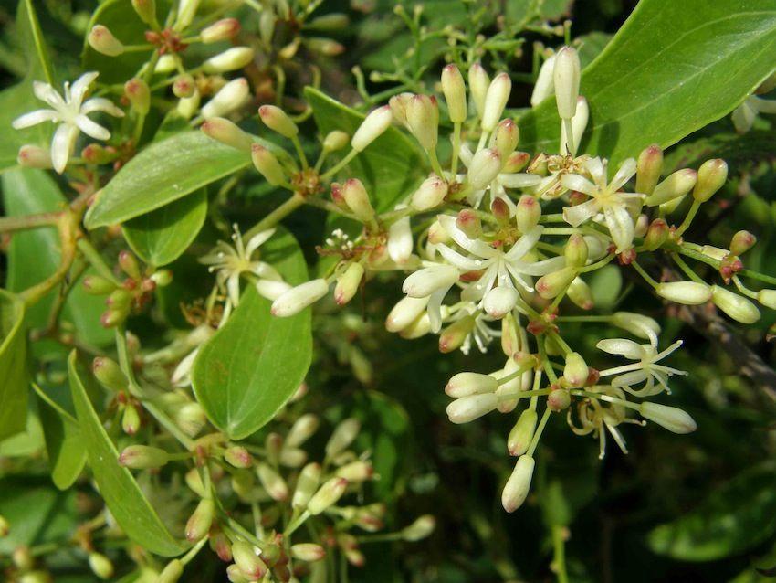 Salsepareille fleurs - Smilax aspera - Smilacaceae